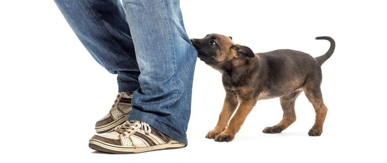 Koiranpentu Puree Ja Murisee