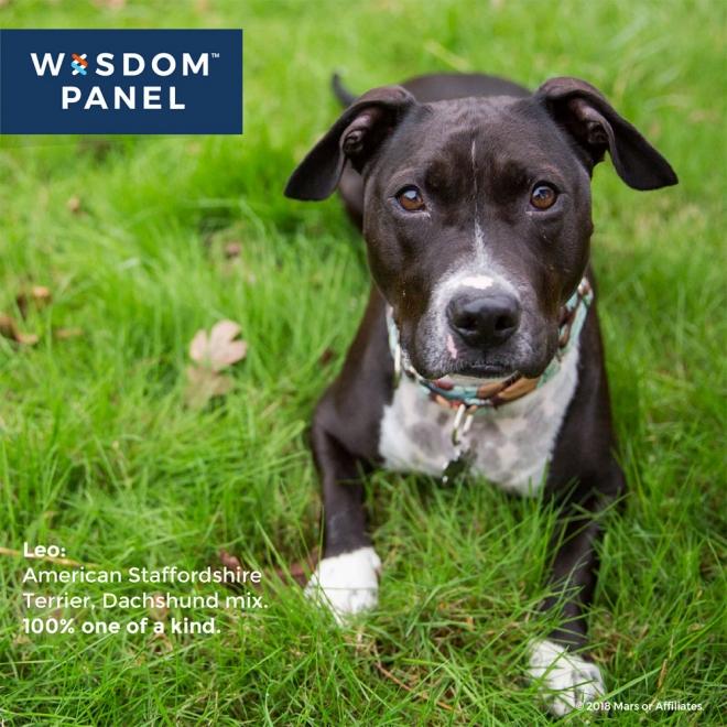 Wisdom Panel 2.0 koiran DNA testi