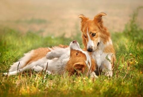 Hormoner kan påverka din hunds aptit