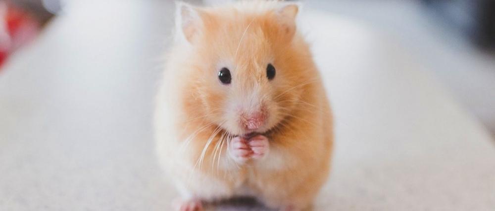 Stelleråd hamster