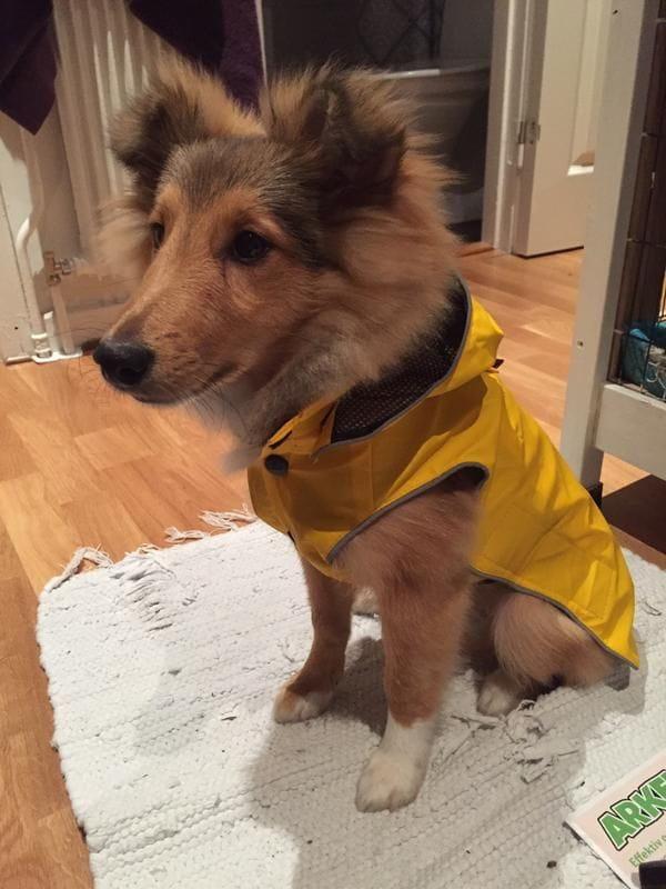 1d/har-ar-min-shetland-sheepdog-valp-med-sin-fina-regnkappa-1d.jpg