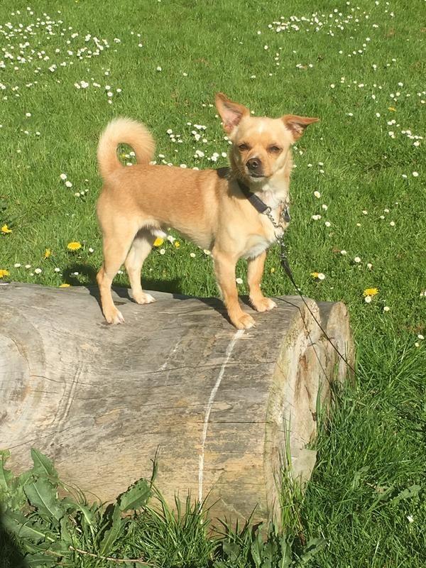 54/min-lille-rumanska-adoptivhund-54.jpg
