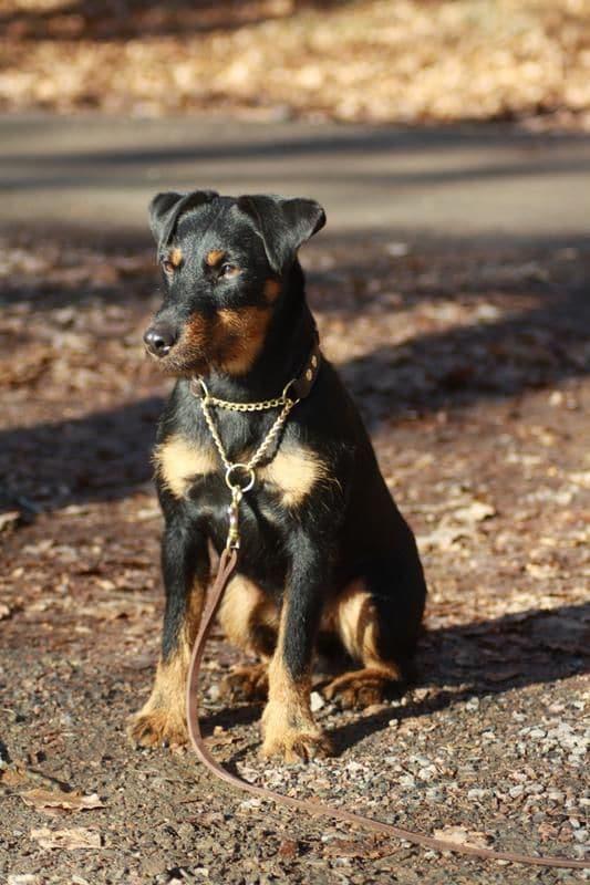 7c/tysk-jaktterriern-smilla-med-sitt-nya-halsband-fran-arken-zoo-7c.jpg
