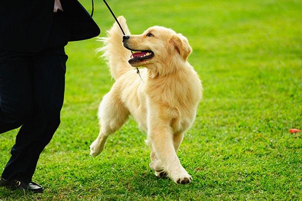 Koira koiranäyttelyssä