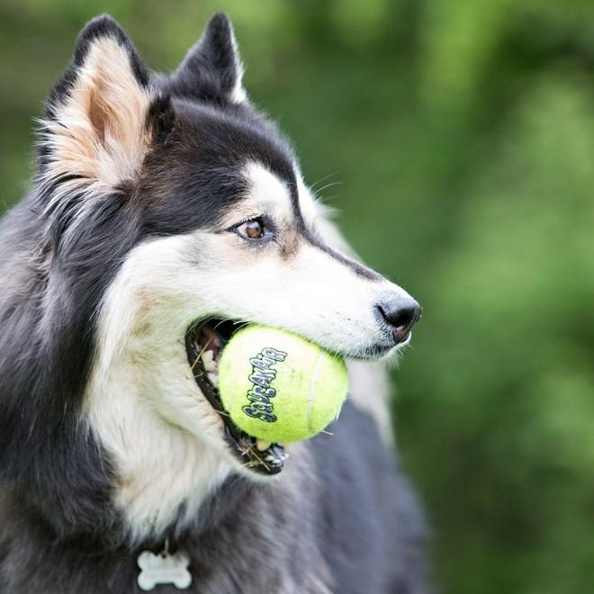 KONG AirDog Squeaker Tennisbollar